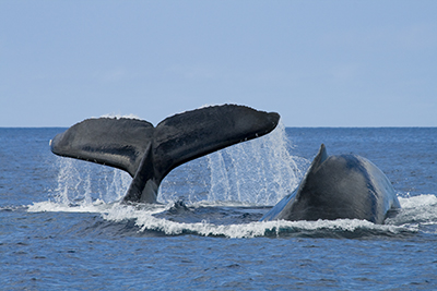 Whale tail and fin breaching the water